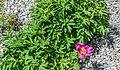 Paeonia peregrina 02.jpg