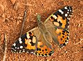 Painted Lady (3536321466).jpg