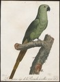 Palaeornis docilis - 1796-1808 - Print - Iconographia Zoologica - Special Collections University of Amsterdam - UBA01 IZ18500045.tif