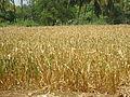 Palani Corn Field.JPG