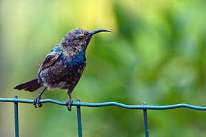 Outline of the State of Palestine - The Palestine sunbird, native to Palestine