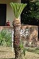 Palma chica (Cycas revoluta) (14335117787).jpg
