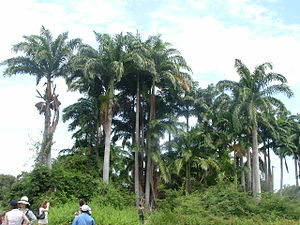 Guayas Province - Palms on the Santay Island.