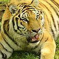 Panthera tigris altaica - Zoo Sauvage de Saint-Félicien - 2016-07-19 (3).jpg