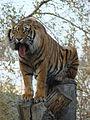 Panthera tigris sumatrae in captivity 06.JPG