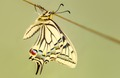Papilio machaon 2009-04-10 01.tif