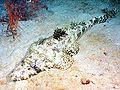 Papilloculiceps longiceps by Jacek Madejski.jpg