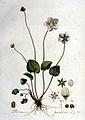 Parnassia palustris — Flora Batava — Volume v1.jpg