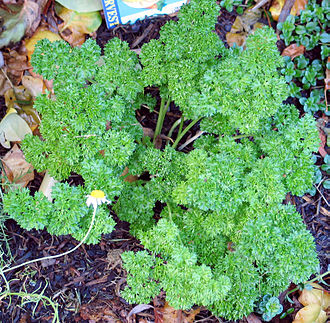 Parsley - Parsley plant, crispum group