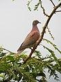 Patagioenas cayennensis Paloma morada Pale-vented Pigeon (6260383723).jpg