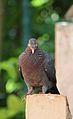 Patagioenas squamosa in Barbados a-05.jpg