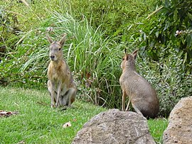 Patagonian Cavies, Melbourne Zoo, Melbourne.jpg