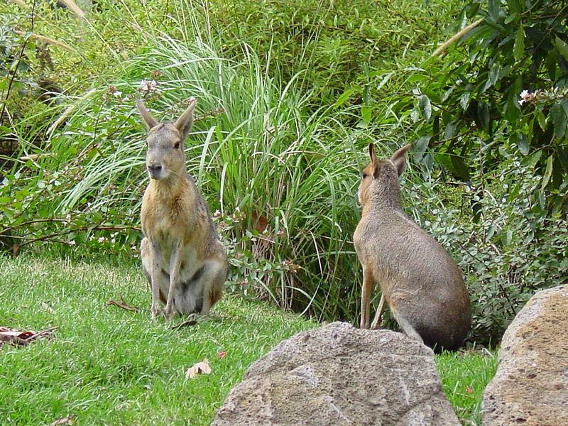 File: Patagonian Marsvin, Melbourne Zoo, Melbourne.jpg