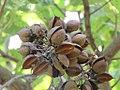 Paulownia tomentosa - paulovnija, čaure.jpg