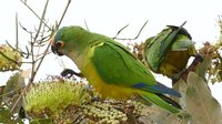 File:Peach-fronted parakeets (Aratinga aurea) eating.webm