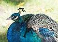 Peacock Image 2.jpg
