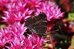 Peacock butterfly IMG 7480 (9496685784).jpg