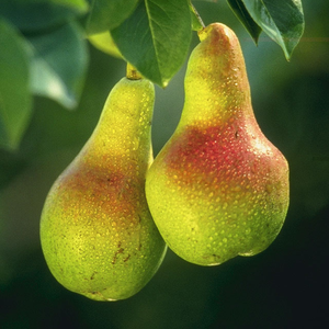 The Pear, Oregon's state fruit.