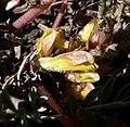 Pedicularis semibarbata ssp charlestonensis 3.jpg