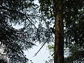 Peeping through the tree A raven in the tree.jpg
