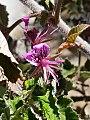 Pelargonium cordifolium02.jpg