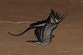Pennant-winged Nightjar, Sakania, DRC (8009726899) (2).jpg