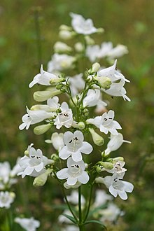 Penstemon digitalis.jpg