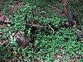 Peperomia blanda var. floribunda (5516127731).jpg