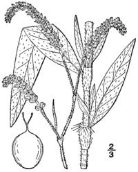 Persicaria careyi BB-1913.png