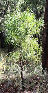 <i>Persoonia longifolia</i> species of plant