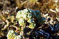 Peru - Lares Trek 015 - cool alpine moss (7584243292).jpg