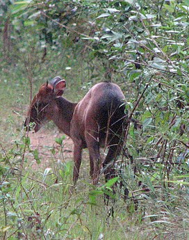 Peters Duiker (Cephalophus callipygus) from behind, Campo Maan National Park.jpg