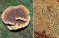 Phaeolus schweinitzii - Flickr - Dick Culbert (1).jpg