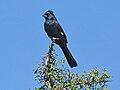 Phainopepla nitens -Tucson -Arizona-8e.jpg