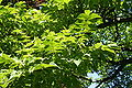 Phellodendron amurense JPG1fa.jpg