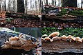 Phlebia tremellosus or Merulius- (Yelly Rot, D= Gallertfleischiger Fältling, F= mérule tremblante, NL= Spekzoerdzwam) white spores and causes white rot, at Park Sonsbeek Arnhem - panoramio.jpg