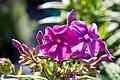 Phlox paniculata Purple Flame 0zz.jpg