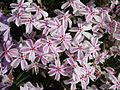 Phlox subulata 'Candy stripe' 5.JPG