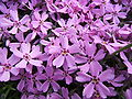 Phlox subulata flowers close.jpg