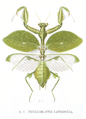 Phyllomantis laurifolia.png