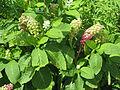 Phytolacca acinosa (9494650408).jpg
