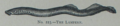 Picture Natural History - No 223 - The Lampern.png