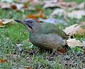 Picus viridis sharpei 002.jpg