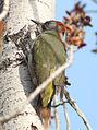 Picus viridis sharpei 088.jpg