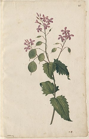 Pieter van der Borcht the Elder - Drawing of a Flower, from the ''Libri picturati''