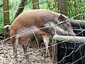 Pig, drinking - geograph.org.uk - 1474120.jpg