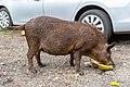 Pig eating Coconut on Road to Hana Maui Hawaii (45016052494).jpg