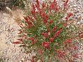 PikiWiki Israel 30078 Plants of Israel.JPG