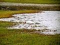 Pinckney Island National Wildlife Refuge (5958490776).jpg