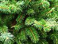 Pine (8759053191).jpg